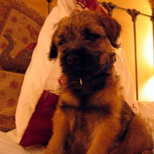 Max The naughty border terrier!