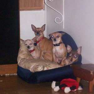 4 little chihuahua's  poochy,Dixie,Bill,and Daisy