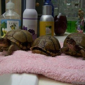 Our 3 box turtles