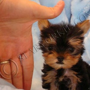 Tiny teacup Yorkshire terrier (Yorkie) puppy