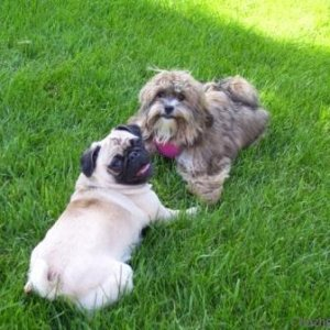 Dexi hangin' with her pug cousin Roxy
