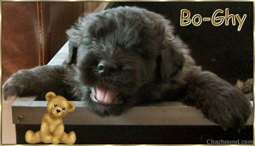 Bo-Ghy, bouvier puppy 5 weeks